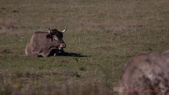 Vache au repos. Domaine de Graveyron, Audenge, espace naturel sensible de Gironde