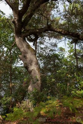 Certains arbres sont âgés et rabougris par les aléas des saisons...Étang de Cousseau