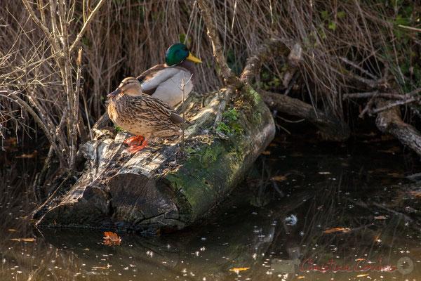 Couple de canards colvert. Domaine de Graveyron, Audenge, espace naturel sensible de Gironde
