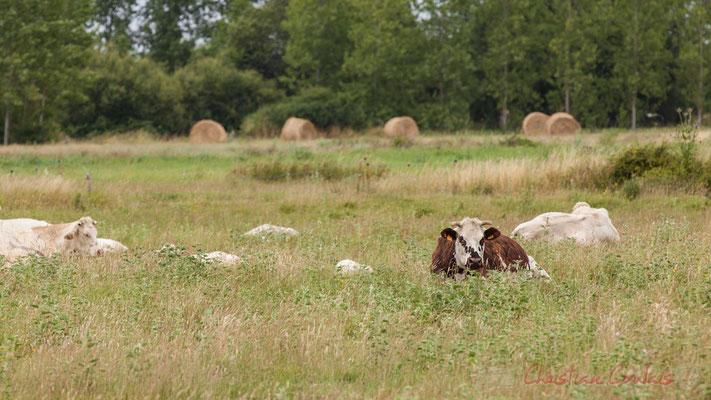 Vaches, entre marais doux et marais salés, circuit N°27, Pays de Saint-Gilles-Croix-de-Vie, Vendée, Pays de la Loire