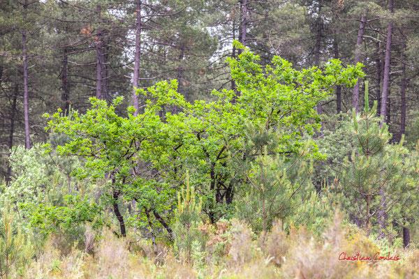 2/3 Tronc sombre de jeune chêne. Forêt de Migelan, espace naturel sensible, Martillac / Saucats / la Brède. Samedi 23 mai 2020. Photographie : Christian Coulais