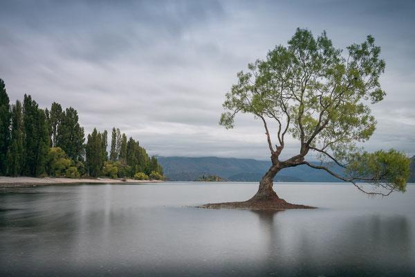 Lonely Tree Wanaka