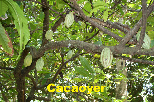 Cacaoyer
