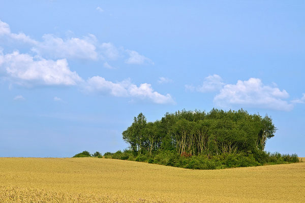 Waldinsel im Kornfeld