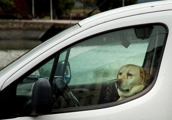 Autofahrender Hund in Honfleur