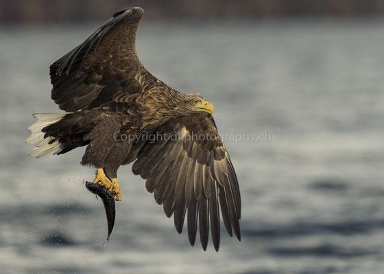 Seeadler 11 (Haliaeetus albicilla), aufgenommen in Norwegen Bild-Nummer: 182