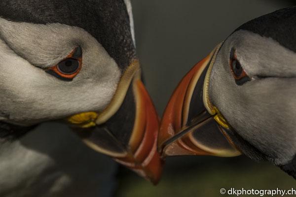 Papageitaucher (Fratercula arctica) im Zwiegespräch, aufgenommen in Wales. Bild-Nummer: 337