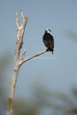 Fischadler (Osprey, Canada) Bild-Nummer: 106
