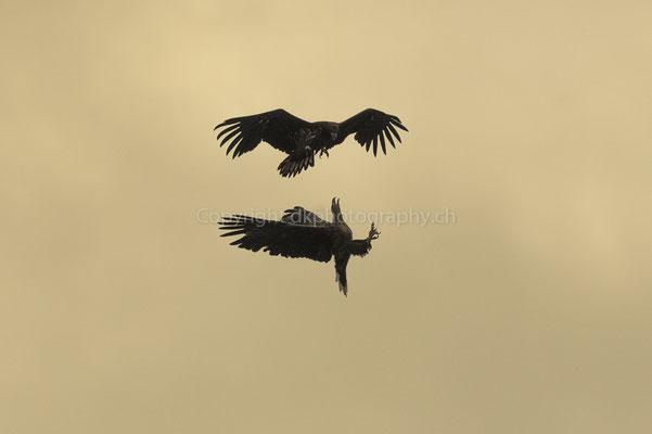 Seeadler 21 (Haliaeetus albicilla), aufgenommen in Norwegen Bild-Nummer: 211