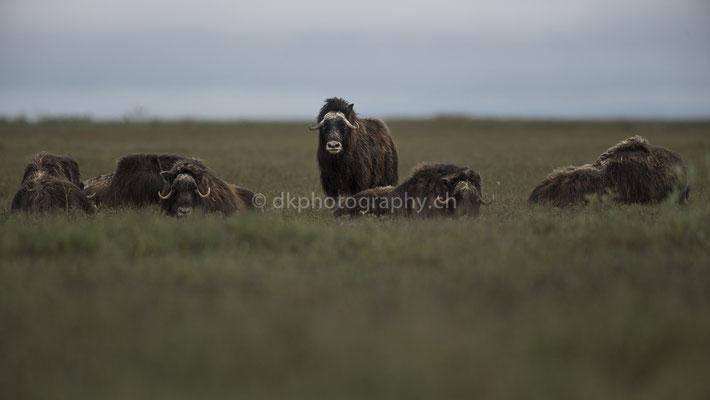 Herdenschutz, Moschusochsen (Musk oxen, Alaska) Bild-Nummer: 73