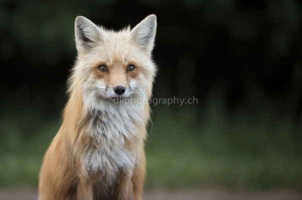 Rotfuchs 1 (Red fox, Canada) Bild-Nummer: 93