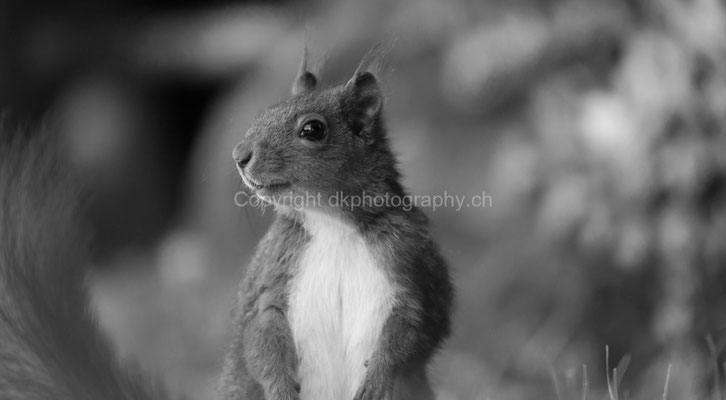 Aufmerksames Eichhörnchen bei der Futtersuche, aufgenommen in der Region Basel (CH).