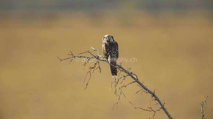 Sperbereule 2 (Northern Hawk Owl, Surnia ulula) Bild-Nummer: 67