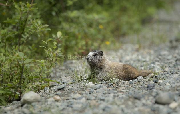 Murmeltier (Marmot, Alaska) Bild-Nummer: 115