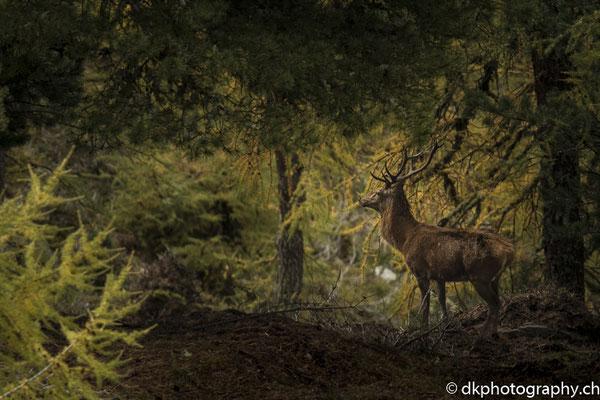 Rothirsch (Cervus elaphus) versteckt im Aletschwald, Riederalp (CH). Bild-Nummer: 345