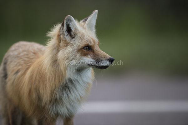 Rotfuchs 3 (Red fox, Canada) Bild-Nummer: 95