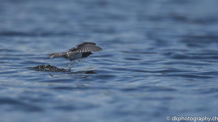 Rauchschwalbe (Hirundo rustica) beim Trinken, aufgenommen in Wales. Bild-Nummer: 338