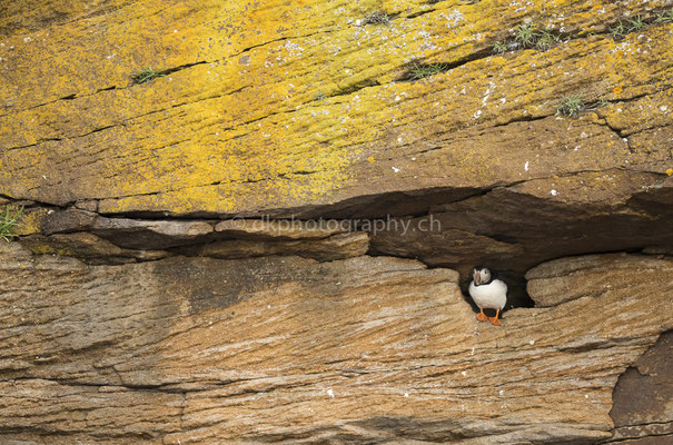 Papageientaucher 1 (Puffin, Canada) Bild-Nummer: 104