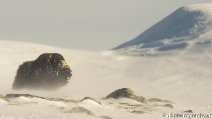 Sonne tanken, Moschusochse, Dovrefjell Norwegen.