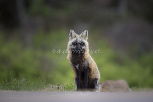 Rotfuchs 4 (Red fox, Canada) Bild-Nummer: 96