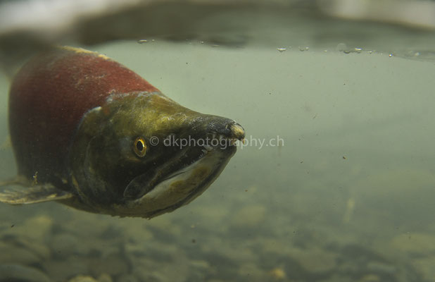 Unterwasser dem Lachs begegnet 1 (Sockeye (Red) Salmon, Alaska) Bild-Nummer: 87