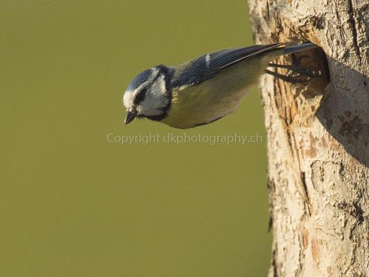 Absprung (Blaumeise, Cyanistes caeruleus), aufgenommen in Laufen (CH). Bild-Nummer: 236