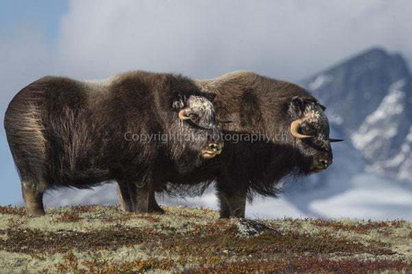 Moschusochse 5 (Ovibus moschatus), aufgenommen in Norwegen Bild-Nummer: 202