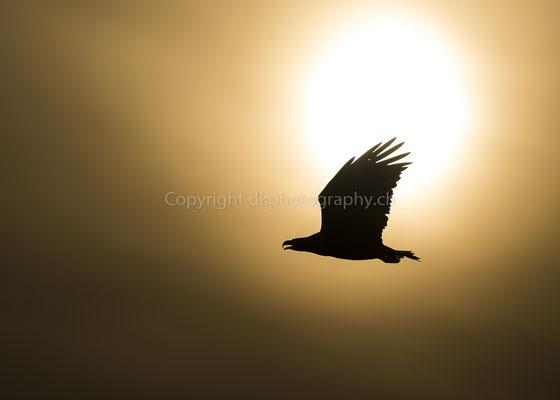 Seeadler 22 (Haliaeetus albicilla), aufgenommen in Norwegen Bild-Nummer: 212
