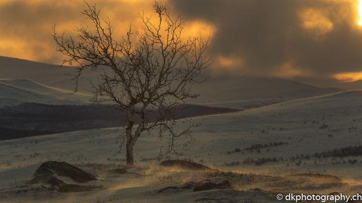 Windiger Morgen im Fjell, Dovrefjell Norwegen.