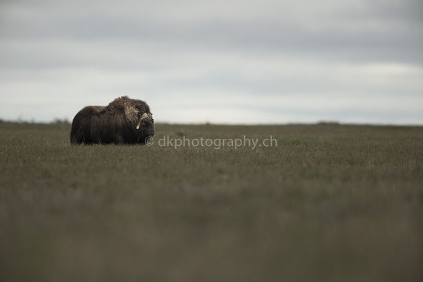 The big one, Moschusochse (Musk ox, Alaska)