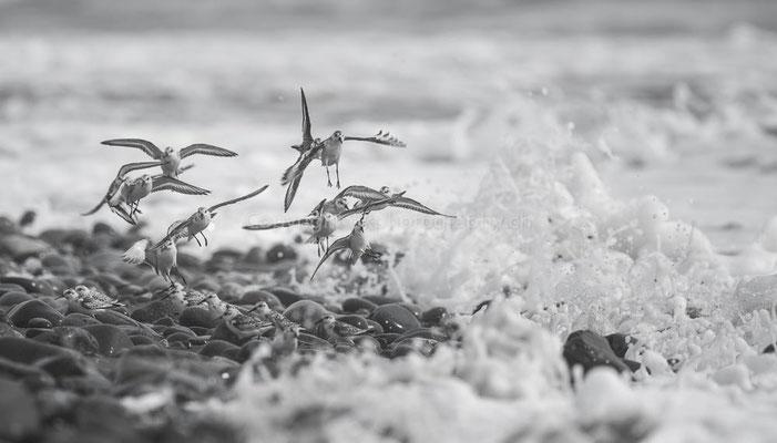 Flucht vor der Welle 1 (Sanderling, Calidris alba), Canada Bild-Nummer: 41