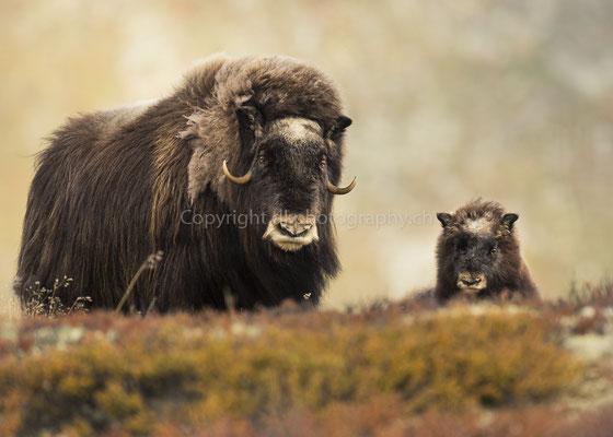 Moschusochse mit Jungtier (diesjährig), aufgenommen in Norwegen