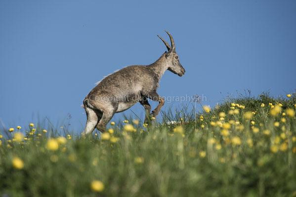 Aufstieg (Steinbockweibchen, Capra ibex), aufgenommen am Augstmatthorn (CH).
