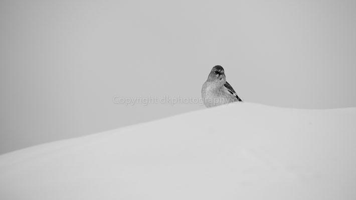 Schneesperling (Montifringilla nivalis), aufgenommen im Wallis (CH). Bild-Nummer: 225
