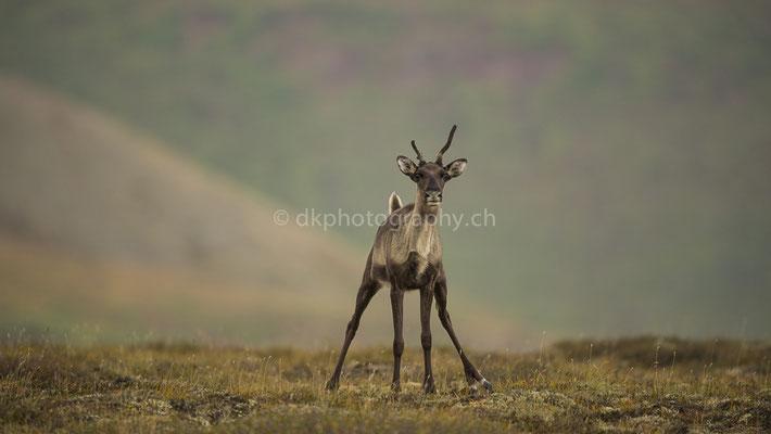 Karibu 1 (Caribou, Rangifer tarandus granti, Alaska) Bild-Nummer: 56