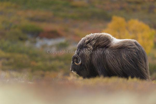 Moschusochse 10 (Ovibus moschatus), aufgenommen in Norwegen Bild-Nummer: 207