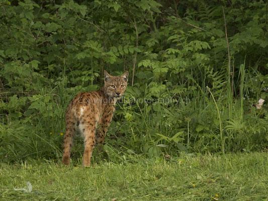 Luchs 1 (Lynx), aufgenommen im Kanton Baselland (CH).