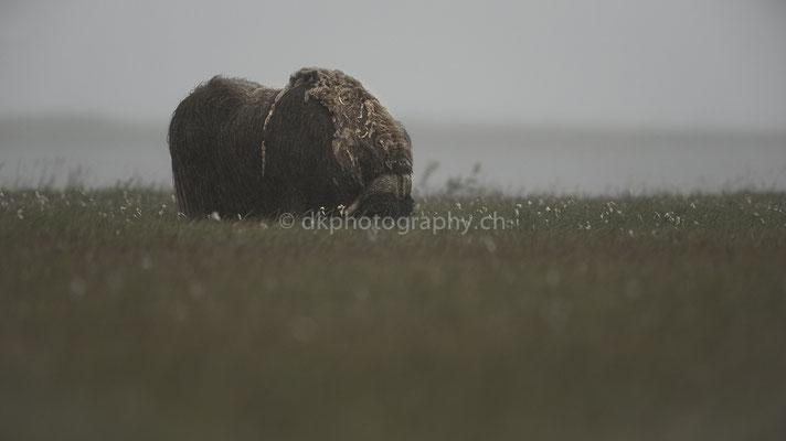 Von einer anderen Zeit, Moschusochsen (Musk ox, Alaska) Bild-Nummer: 68