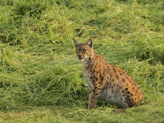 Luchs 2 (Lynx), aufgenommen im Kanton Baselland (CH).