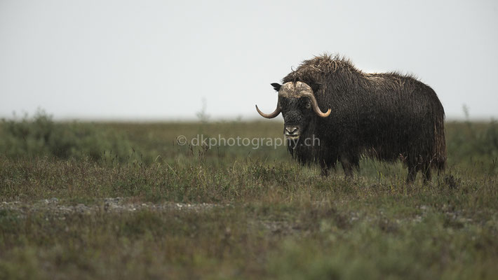 Eye-contact, Moschusochse (Musk ox, Alaska)