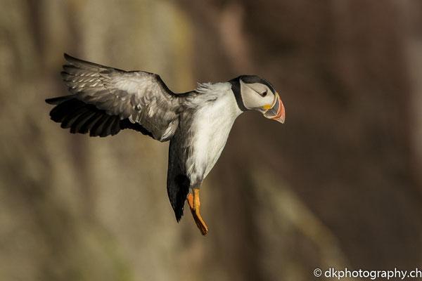Papageitaucher (Fratercula arctica), aufgenommen in Wales. Bild-Nummer: 325