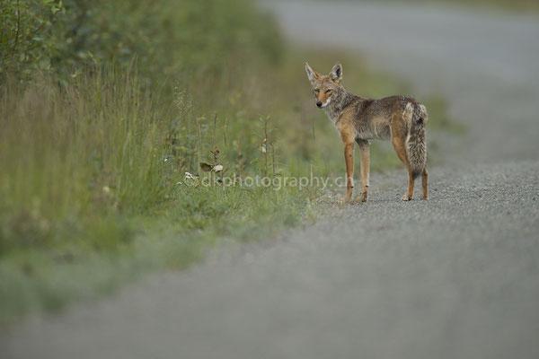 Kojote (Coyote, Alaska) Bild-Nummer: 98