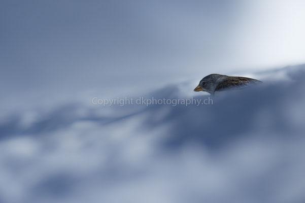 Schneesperling (Montifringilla nivalis), aufgenommen im Wallis (CH). Bild-Nummer: 171