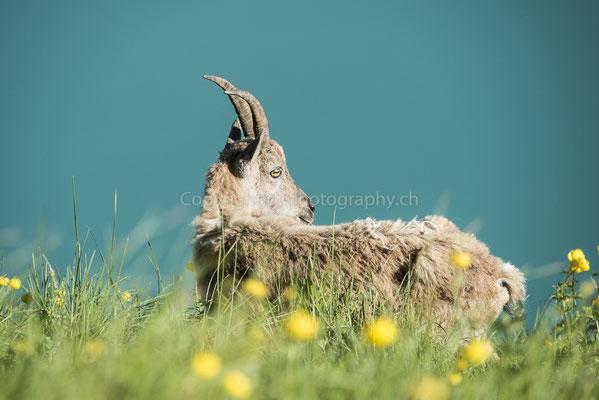 Junger Steinbock (Capra ibex), aufgenommen am Augstmatthorn (CH).