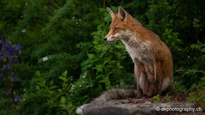 Rotfuchs (Vulpes vulpes), Baselland (CH).