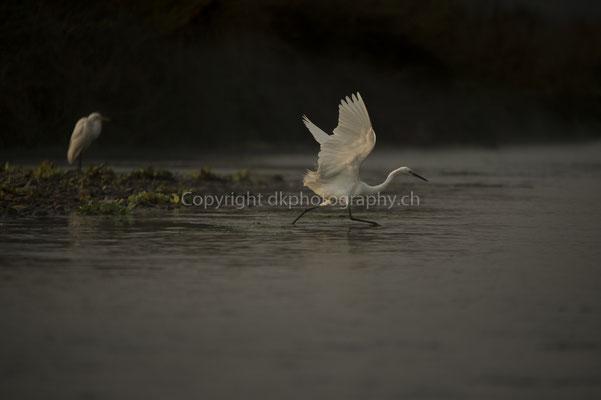 Auf Fischfang (Silberreiher, Ardea alba), aufgenommen in Nepal.