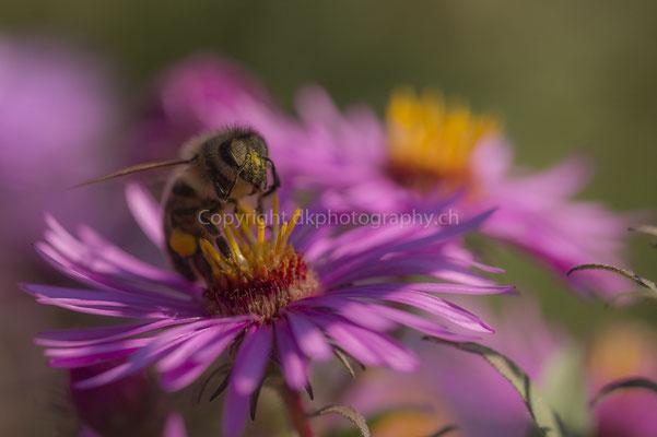 Vor lauter Pollen die Blüte nicht mehr sehen, aufgenommen in der Region Basel (CH). Bild-Nummer: 145