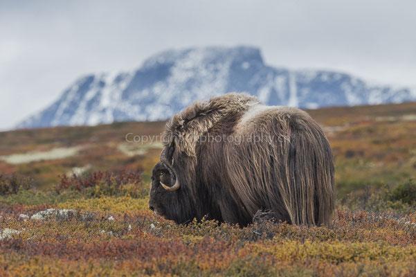 Moschusochse vor Snøhetta (Ovibus moschatus), aufgenommen in Norwegen Bild-Nummer: 208