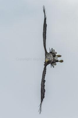 Seeadler 6 (Haliaeetus albicilla), aufgenommen in Norwegen