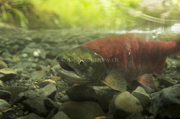 Unterwasser dem Lachs begegnet 2 (Sockeye (Red) Salmon, Alaska) Bild-Nummer: 88
